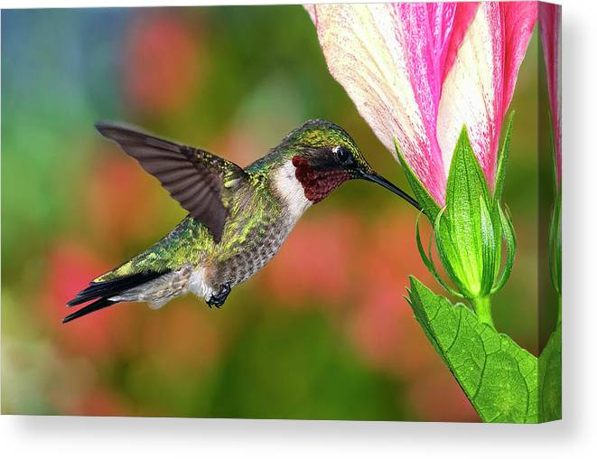 Animal Themes Canvas Print featuring the photograph Hummingbird Feeding On Hibiscus by Dansphotoart On Flickr