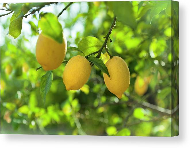 Vitamin C Canvas Print featuring the photograph Lemon Fruits In Orchard by Brzozowska