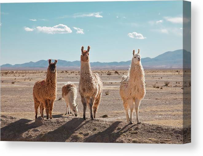 Shadow Canvas Print featuring the photograph Llamas Posing In High Desert by Kathrin Ziegler