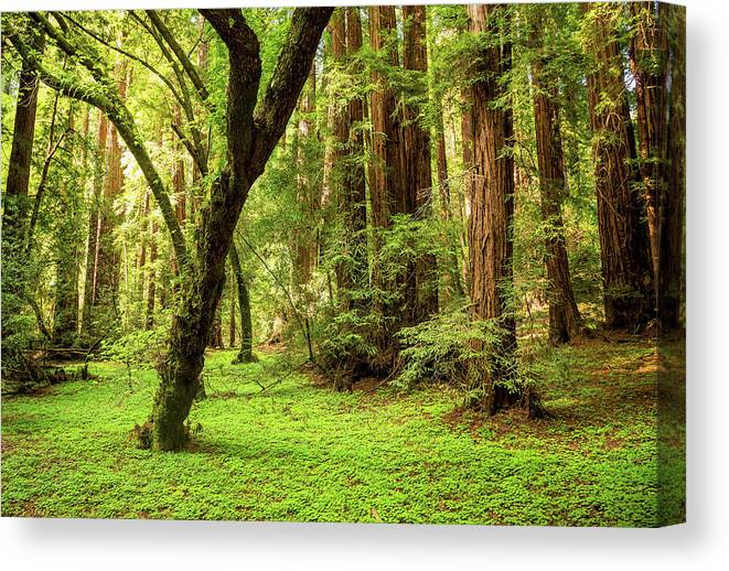 Tranquility Canvas Print featuring the photograph Muir Woods Forest by By Ryan Fernandez