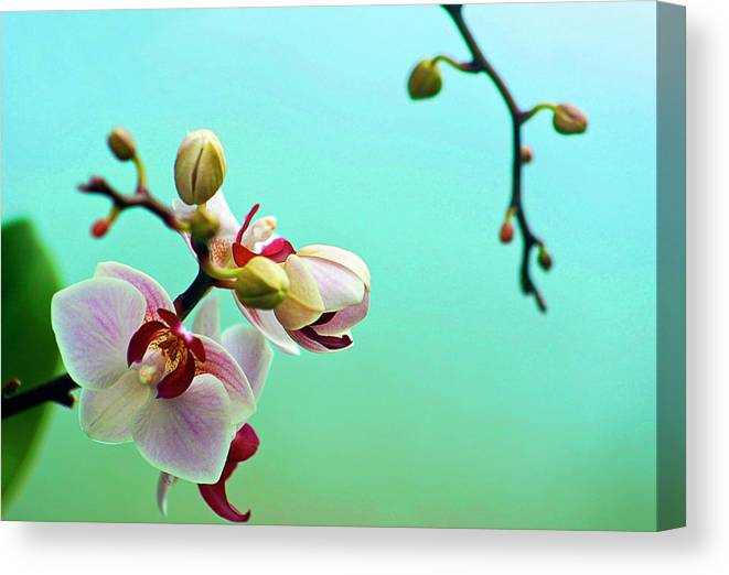 Petal Canvas Print featuring the photograph Orchids Out For A Breath Of Fresh Air by Photo By Alan Shapiro