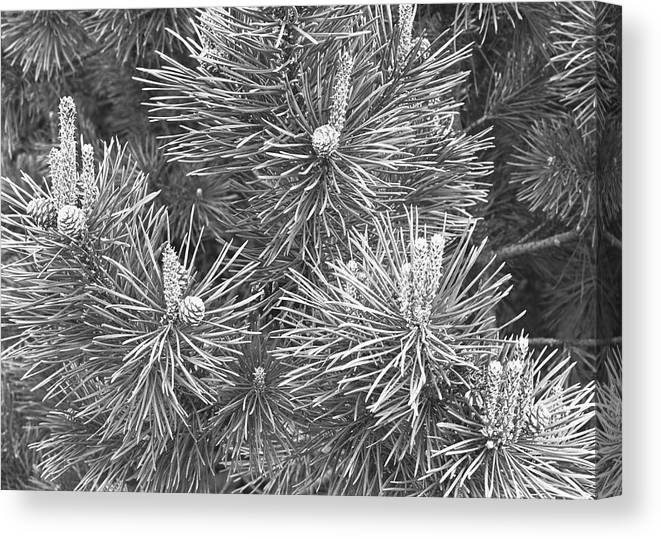 Needle Canvas Print featuring the photograph Pine Cones And Needles, Close-up B&w by George Marks