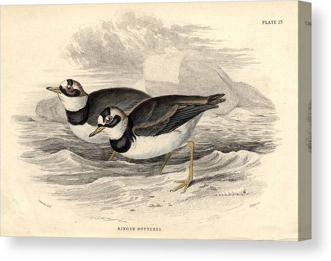 Horizontal Canvas Print featuring the digital art Ringed Dotterel by Hulton Archive