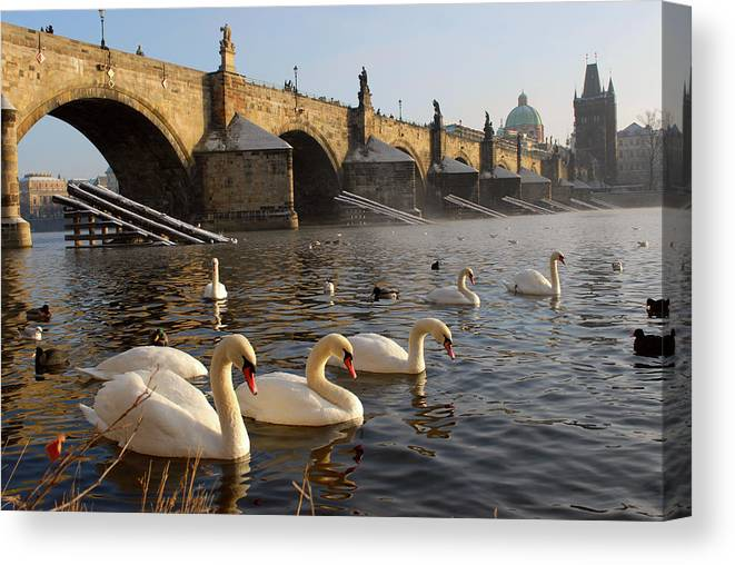 Arch Canvas Print featuring the photograph Swans And Charles Bridge by Dibrova