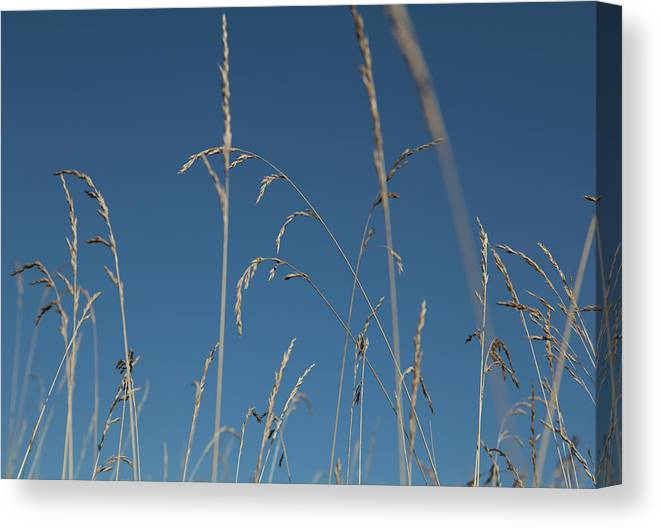 Tranquility Canvas Print featuring the photograph Tall Grasses Swaying Against A Blue Sky by Lauren Krohn