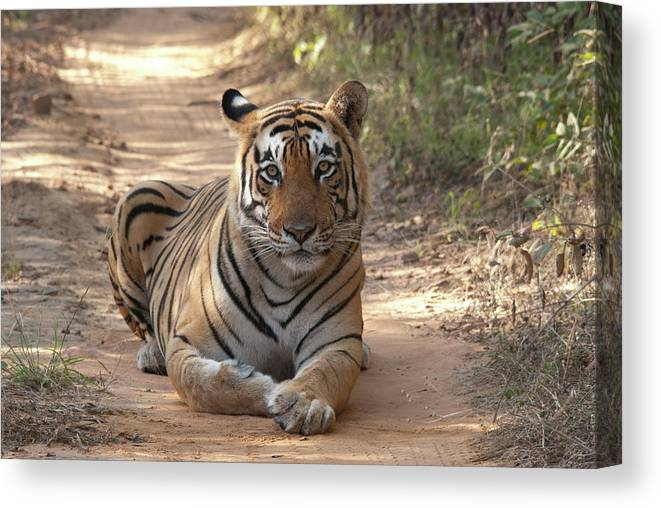 Ranthambore National Park Canvas Print featuring the photograph Tiger Sitting On Field by Chaithanya Krishna Photography