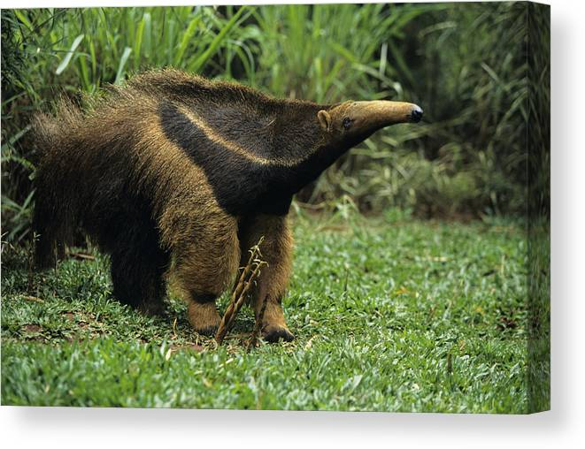 Grass Canvas Print featuring the photograph Giant anteater (Myrmecophaga tridactyla), Central or South America by Tom Brakefield