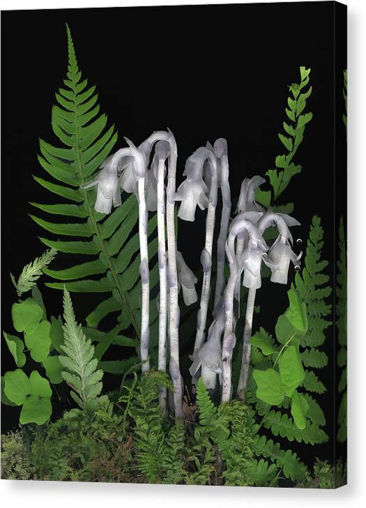 Monotrop Unifolora Canvas Print featuring the photograph Indian Pipe by Sandi F Hutchins