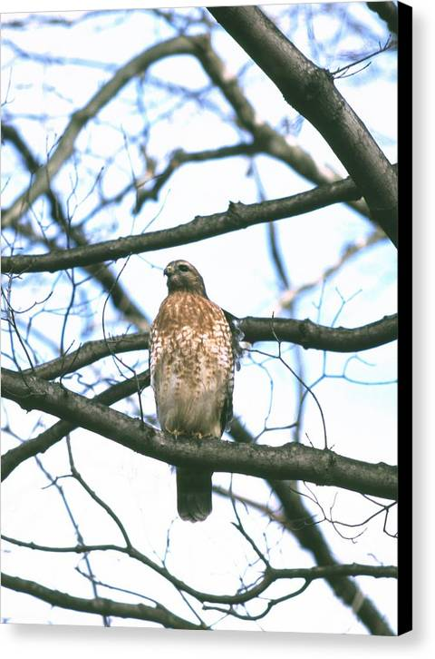 Hawk Canvas Print featuring the photograph 112601-53 by Mike Davis