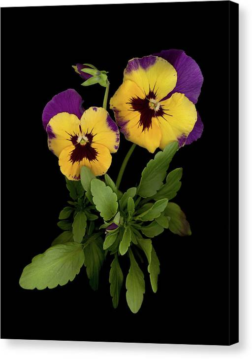 Pansy Flowers Canvas Print featuring the photograph Bright Shining Faces by Sandi F Hutchins