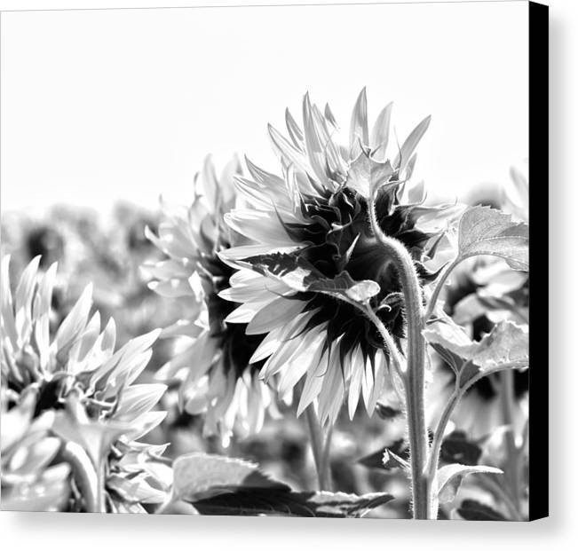 French Sunflower Canvas Print featuring the photograph Monochrome Summer by Georgia Fowler