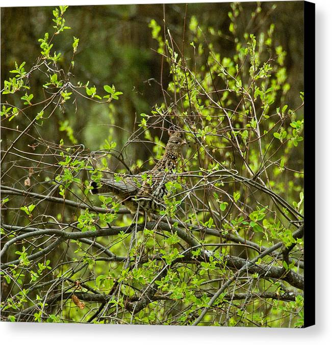 Canvas Print featuring the photograph Ruffled Grouse by JK Photography