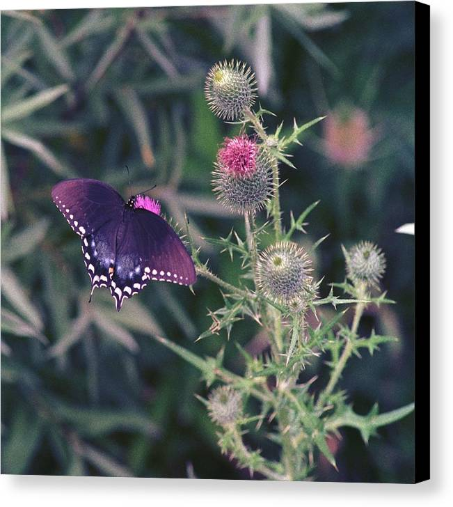 Butterfly Canvas Print featuring the photograph 060207-13 by Mike Davis