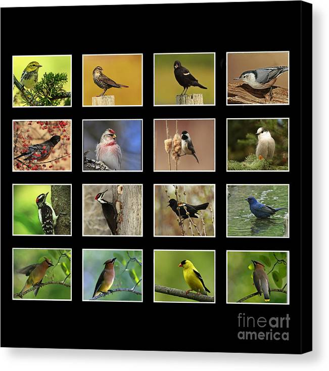 Song Birds Of Canada Canvas Print featuring the photograph Song Birds Of Canada Collection by Inspired Nature Photography Fine Art Photography