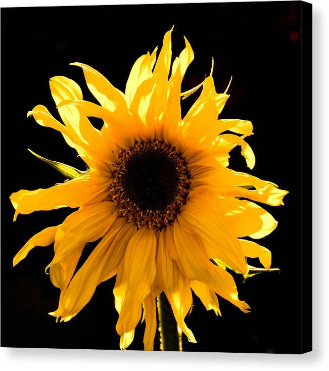 Sunflower Canvas Print featuring the photograph Sunflower by Patrick Galvin
