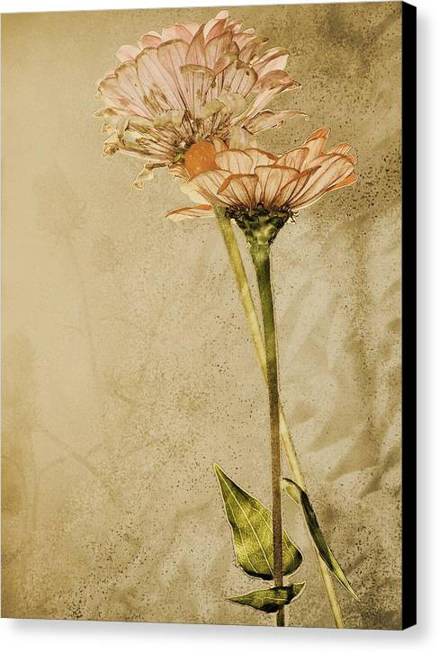 Flower Canvas Print featuring the photograph Withered by Sally Engdahl
