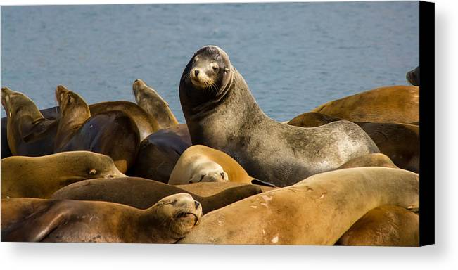 Morro Bay Canvas Print featuring the photograph Basking Sea Lions by Richard Balison