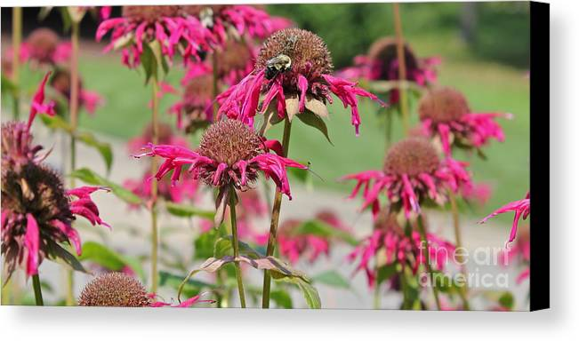 Bee Balm Canvas Print featuring the photograph Bee Balm 3 by Marie Spence