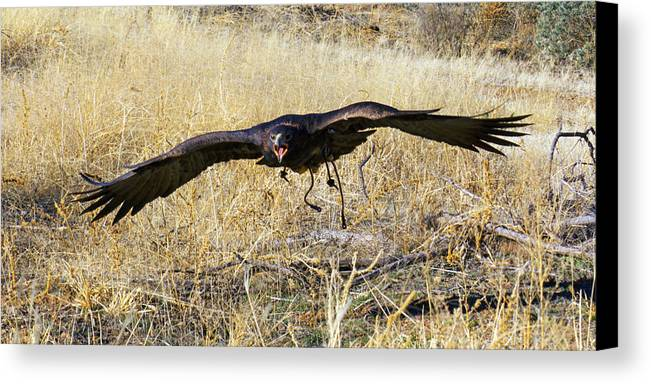 Action; Animal; Arizona; Avian; Bird; Color; Falconry; Feather; Flying; Grass; Hunting; Intense; Nature; Predator; Raptor; Wildlife Canvas Print featuring the photograph In Coming by Randall Ingalls