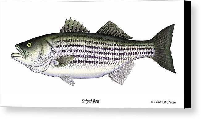 Striped Bass Art Canvas Print featuring the painting Striped Bass by Charles Harden