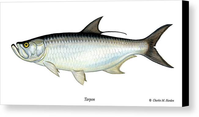 Charles Canvas Print featuring the painting Tarpon by Charles Harden