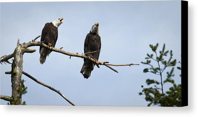 Bald Eagle Canvas Print featuring the photograph Bald Eagle Music by Chad Davis