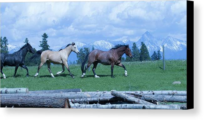Horses Canvas Print featuring the photograph Following The Bay by Eleszabeth McNeel