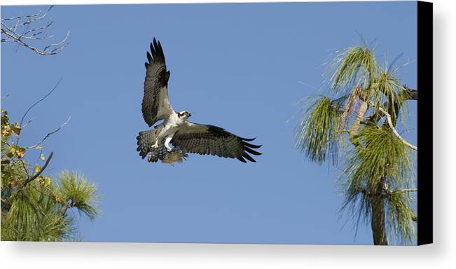Bird Canvas Print featuring the photograph Osprey With Fish by Chad Davis