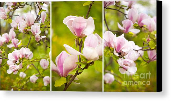 Magnoliaceae Canvas Print featuring the photograph Pink Magnolia Triptych by Arletta Cwalina