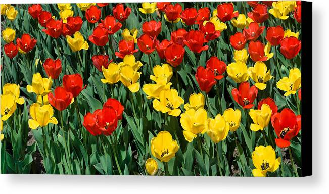 Red Canvas Print featuring the photograph Red And Yellow Tulips Naperville Illinois by Michael Bessler