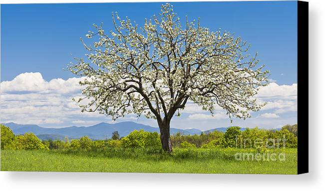 Spring Canvas Print featuring the photograph Springtime Apple Tree Panorama by Alan L Graham