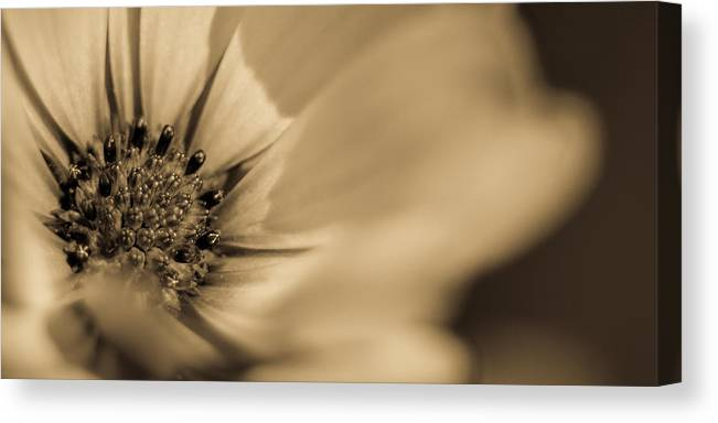 Daisy Canvas Print featuring the photograph Soprano Purple Daisy by R J Ruppenthal