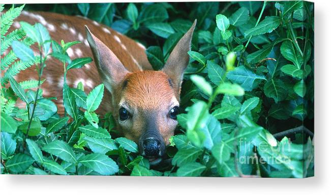 Fawn Canvas Print featuring the photograph Playing Peekaboo by Sandra Bronstein
