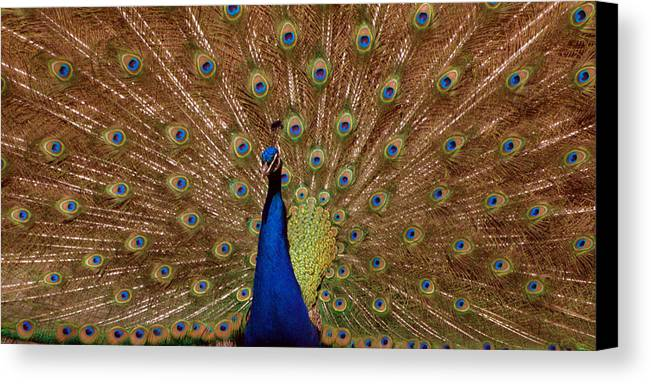 Peakcock Canvas Print featuring the photograph Peacock 01 by April Holgate