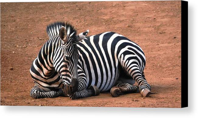 Zebra Canvas Print featuring the photograph Resting Strips by Lakida Mcnair