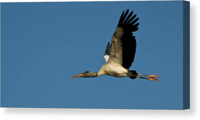 Wood Stork Canvas Print featuring the photograph Wood Stork In Flight by Matthew Trudeau