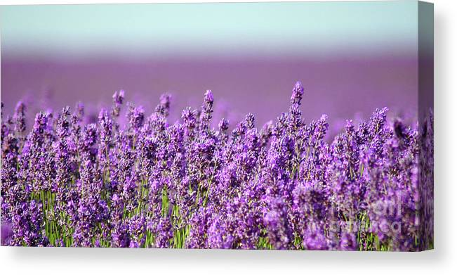 Flowers Canvas Print featuring the photograph Snowshill Lavender by Stephie Butler