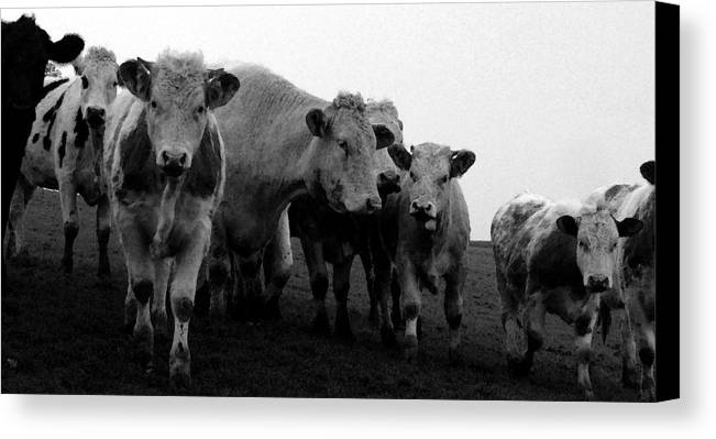 Cheshire Cattle Canvas Print featuring the photograph Cheshire Cattle by John Bradburn