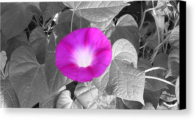 Pink Morning Glory Railroad Vine Plant Vines Canvas Print featuring the photograph Glory Pink by Lindsay Clark