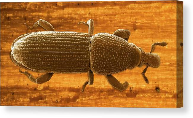 Pentarthrum Huttoni Canvas Print featuring the photograph Pentarthrum Huttoni Weevil by Clouds Hill Imaging Ltd/science Photo Library