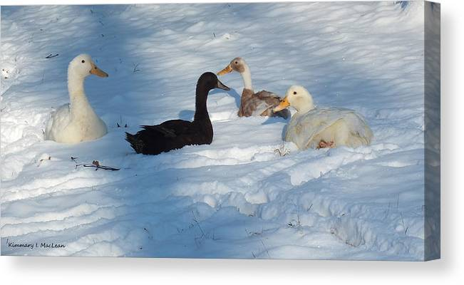 Animal Canvas Print featuring the photograph Snow Ducks by Kimmary MacLean