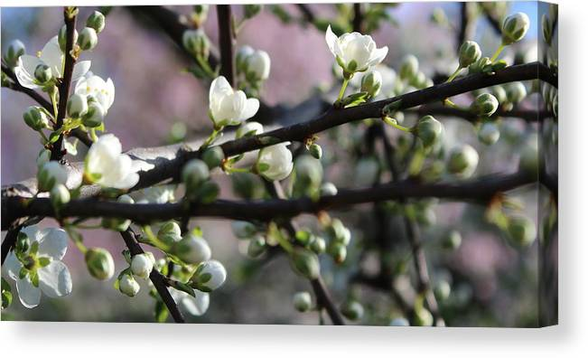 Blossom Canvas Print featuring the photograph Spring Blossoms by Mina Thompson
