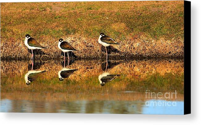 Water Canvas Print featuring the photograph Black-necked Stilts by Robert Bales