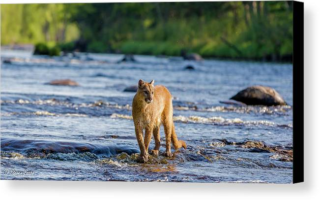 Cougar Canvas Print featuring the photograph Cat On The River by Steven Szabo