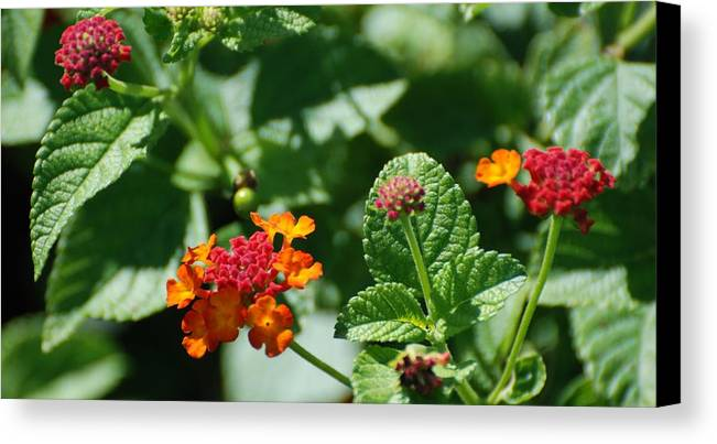 Orange Canvas Print featuring the photograph Orange Red Flowers by Rob Hans