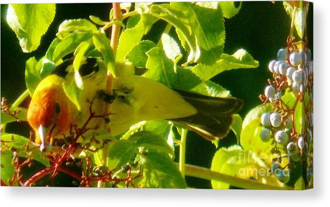 Western Tanagers Canvas Print featuring the photograph A Day With Mr. Tanager 11 by Jacquelyn Roberts