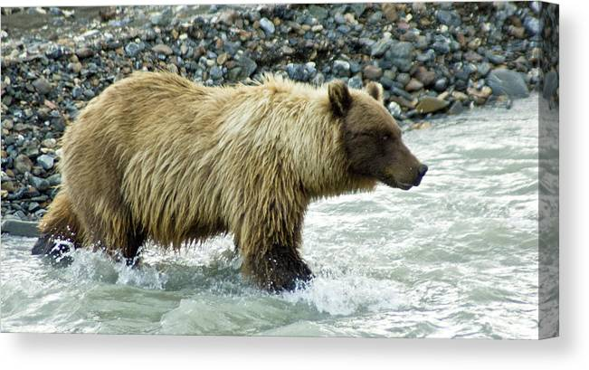 Alaska Canvas Print featuring the photograph Grizzly Sow In Denali by Jim and Kim Shivers
