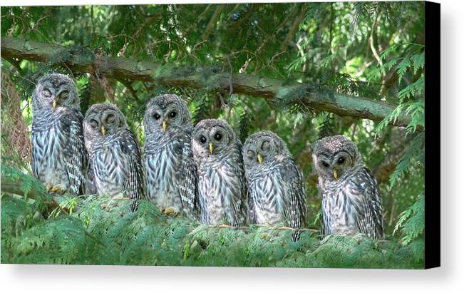 Owl Canvas Print featuring the photograph Barred Owlets Nursery by Jennie Marie Schell