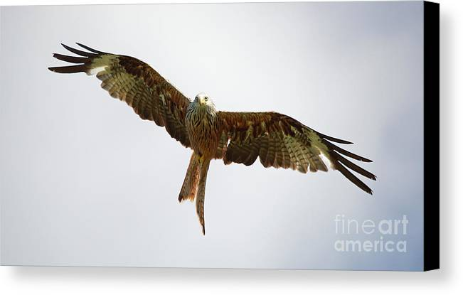 Red Kite Canvas Print featuring the photograph Red Kite In Flight by Maria Gaellman