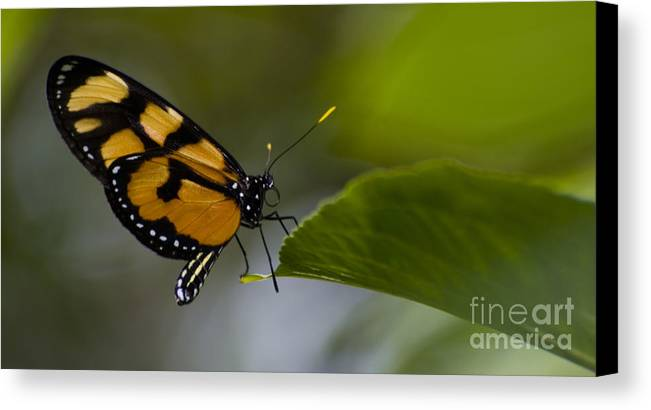 Butterfly Canvas Print featuring the photograph Balancing Act by Heather Applegate